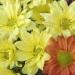Chryzantéma - vícekvětá
