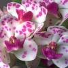 Stonek orchideje